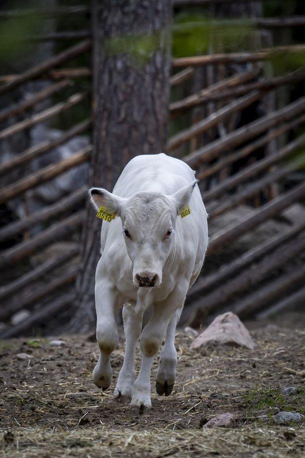 Lapinlehmän vasikka sai nimekseen Riemu.