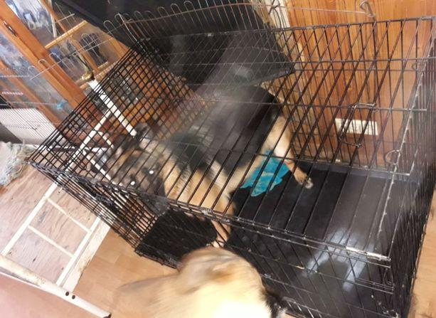 Kymmenen kuukauden ikäinen saksanpaimenkoiranarttu oli alle kahden neliömetrin kokoisessa häkissä pienen makuualustan kanssa. Koiralla ei ollut tarkastushetkellä vettä.