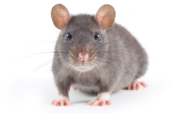 Rottaa pidetään viisaana eläimenä, ihan omilla aivoillaankin.