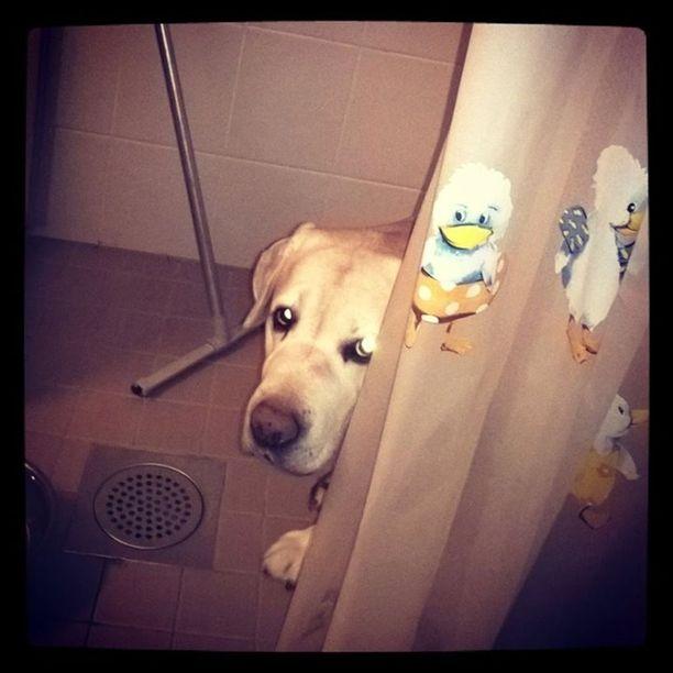 Mitä labradorinnoutaja Nero tekee suihkuverhon takana? Tilanne sai alkunsa siitä, että 10-vuotiaan Neron omistaja käväisi parvekkeella. -Sillä välillä nero ahneuksissaan söi toisen koirani ruuat. Kun tulin sisälle parvekkeelta, juoksi Nero suoraan kylpyhuoneeseen. Tässä kuvassa hän uskaltaa jo hiukan kurkkia verhon takaa, Laura kertoo.
