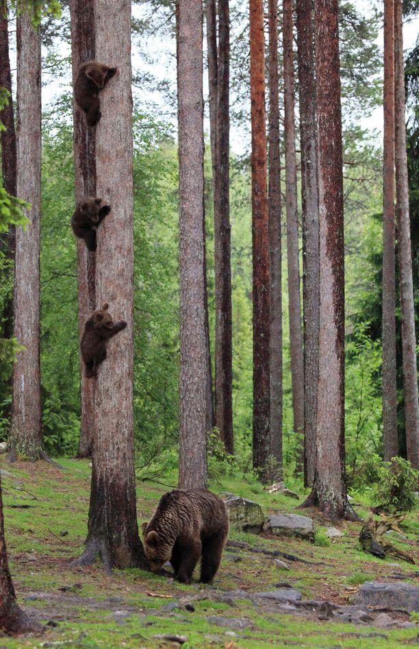 Kuva ryhmässä kiipeävistä pennuista on herättänyt ihastusta maailmalla. Kuvaaja kertoo, että karhut sattuivat kuvaan sattumalta näin nättiin riviin, kun ne kiipeilivät puuta ylös ja alas.