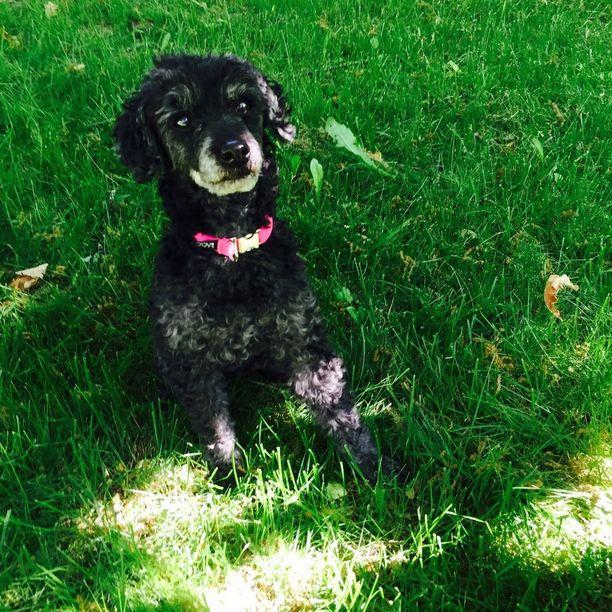 Hengiltä retuutettu Hilppa-koira oli kuollessaan 13-vuotias.