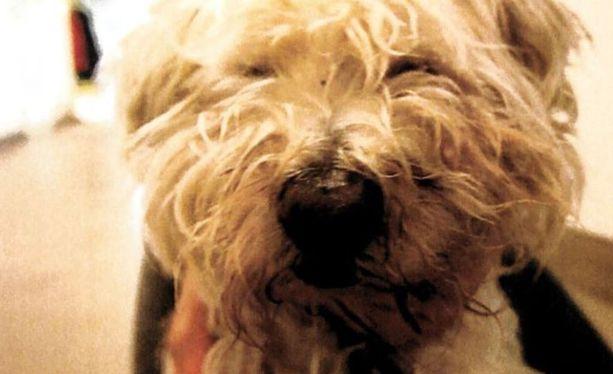 Koira jouduttiin lopettamaan lisäkärsimysten välttämiseksi.