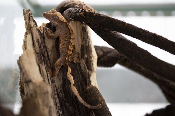 Harmaagekkoa näkee luonnonvaraisena Uuden-Kaledonian saarilla Australian itärannikolla.