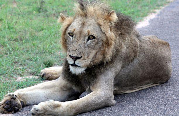 Leijonat iskivät salametsästäjän kimppuun Krugerin kansallispuiston lähellä olevassa riistapuistossa.