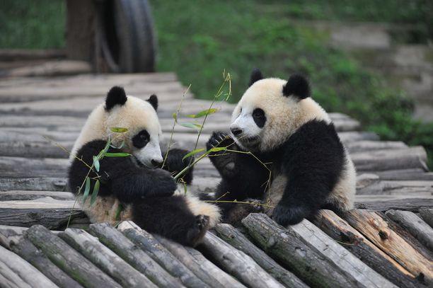 Suomeen odotetaan pandapariskuntaa. Kuvan pandat asuvat Kiinassa pandojen suojelukeskuksessa.