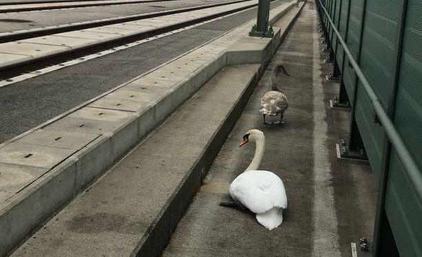 Linnut eivät osanneet suunnistaa turvaan.