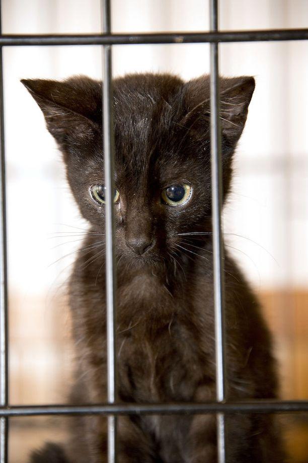 Aatu-kissa päätyi samaan löytöeläinkotiiin kuin kuvan moottoritien penkalta Lempäälästä pelastettu kissanpentu.
