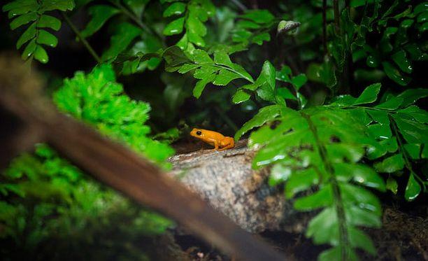 Kultamantellaa ei tavata missään muualla luonnossa kuin Madagaskarin Torotorofotsy-kosteikolla.