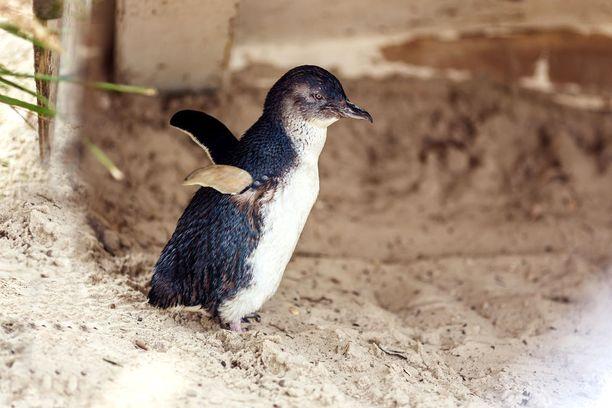Sinipingviini on pingviineistä pienin.