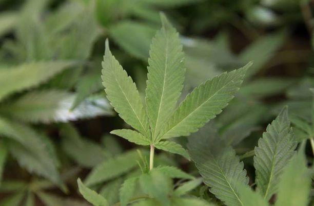 Lääketarkoituksiin käytettävä marihuana on jo nyt laillinen 33 osavaltiossa.