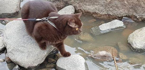 Dali-kissa ulkoilee asianmukaisesti valjaissa.
