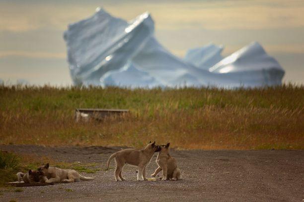 Grönlanninkoiran pentuja.