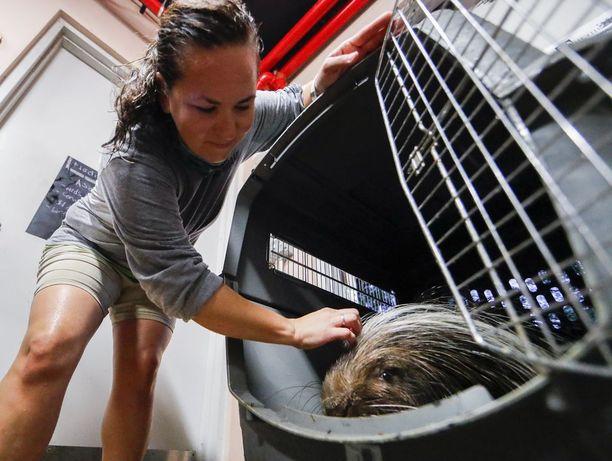 Miamin eläintarha evakuoi asukkinsa sisään Irman tieltä lauantaina. Kuvassa piikkisika Pierce.