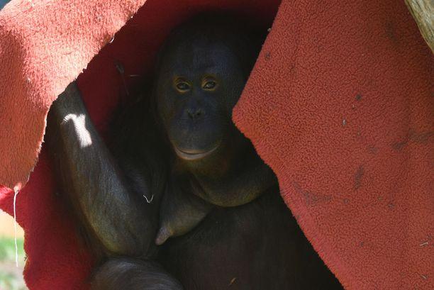 - Olisikohan viltin alle viileämpää? pohti borneonoranki madridilaisessa eläintarhassa.