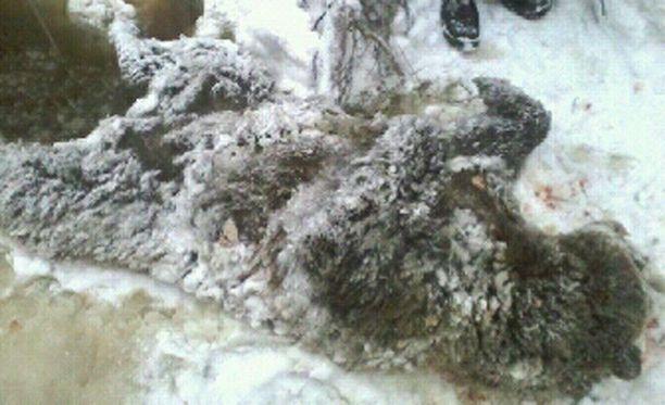 Karhu on toimitettu paikallisen metsästysseuran teurastamoon.