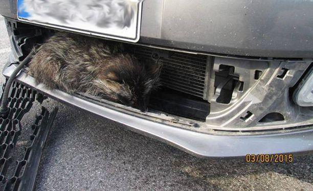 Supikoira selvisi säikähdyksellä, vaikka auto törmäsi siihen.