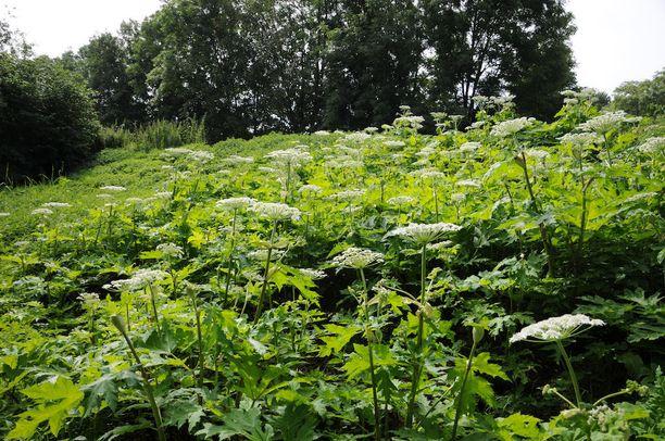 Jättiputkia on kolmea eri lajia, joista kaukasianjättiputki on yleisin.