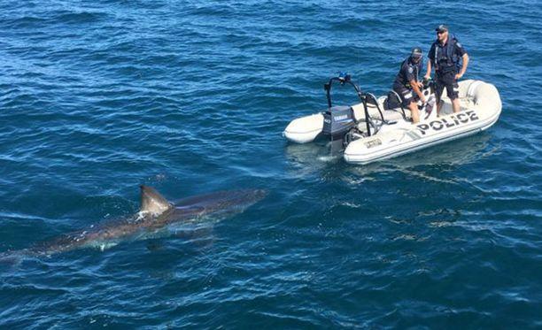 Hai oli suurempi kuin poliisien kumivene. Kalastajien puhalluttaminen jäi tekemättä.