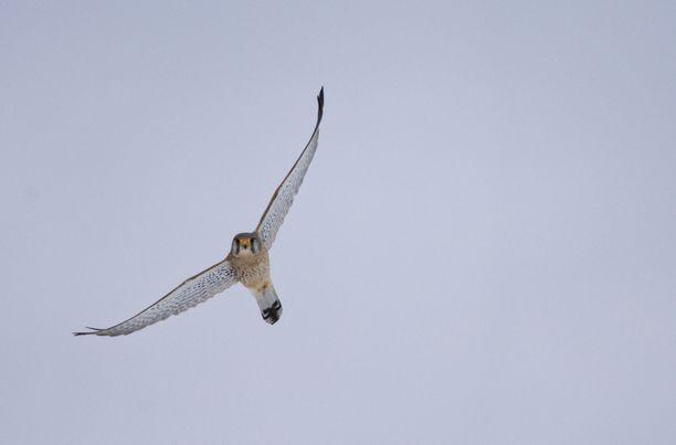 Tuulihaukka (Falco tinnunculus) sai pesiä rauhassa edellisten Matokorven seurojen aikaan 16 vuotta sitten.