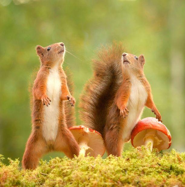 Eläimet nuuskivat ympäriinsä ja esimerkiksi sienet kiinnostivat niitä suuresti. Oravat ovat Suomessakin yleisiä.