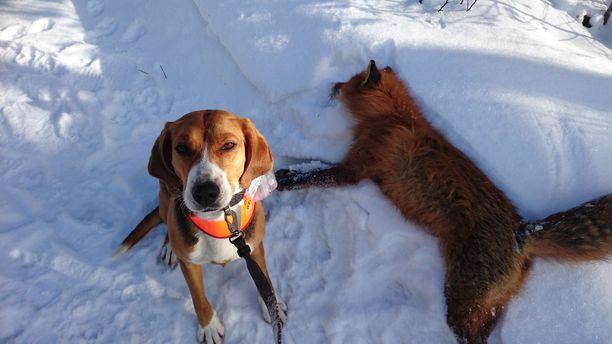 Suomenajokoira on ajava metsästyskoira. Kuvassa ruotsalainen yksilö, jonka rodusta ei ole täyttä varmuutta.
