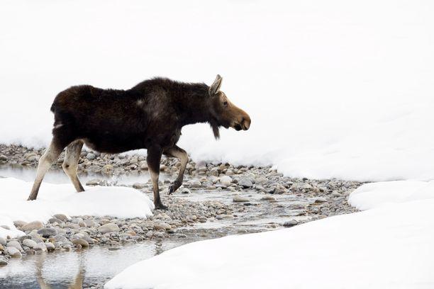Hirviä ja peuroja joudutaan pelastamaan erityisen paljon keväisin jäiden heiketessä, Varsinais-Suomen pelastuslaitokselta kerrotaan.