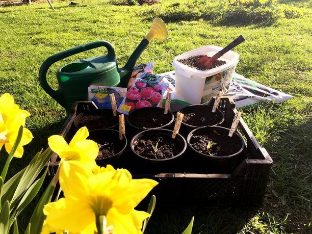 Esikasvatukseen tarvitset kukkamukuloita, ruukkuja, istutuslapion, kanankakkarakeita ja vettÀ. VÀhemmÀn sotkua tulee, jos voit tehdÀ istutuksen nurmikolla.