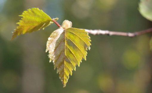 Ehkä piankin koivuallergikot selviävät keväästä vähemmin oirein kuin tähän asti.