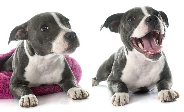 Yksi koira - kaksi ilmettä. Taakse painuneet korvat ja hieman alas painunut ryhti kertovat epämukavuuden tunteesta, avoinna oleva suu, rento ilme ja ryhdikkyys taas ilosta.