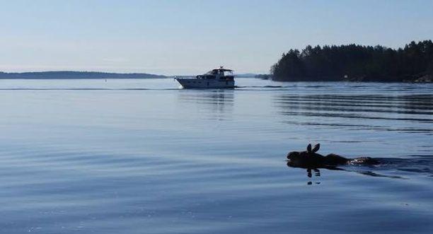 Hirvi saatiin ohjattua järveen Kumpusaaressa.