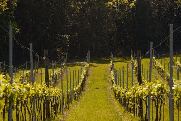 Entisen maaseutukartanon mailla viljellään viiniä.