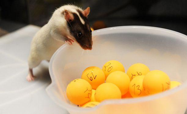 Rotat ovat aiheuttaneet päänvaivaa päiväkodilla. Kuvan rotta ei sen sijaan liity tapaukseen.