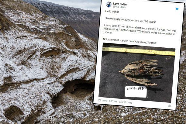 Häkellyttävän hyvin säilynyt lintu löydettiin Siperian ikiroudasta.