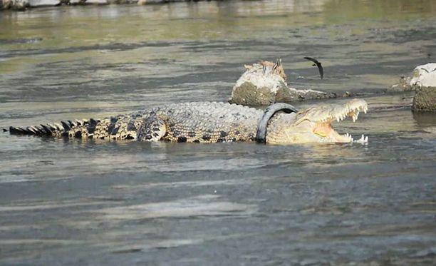 Paikallisten luonnonsuojeluviranomaisten mukaan krokotiili kuolee pian, jos rengasta ei saada pois.