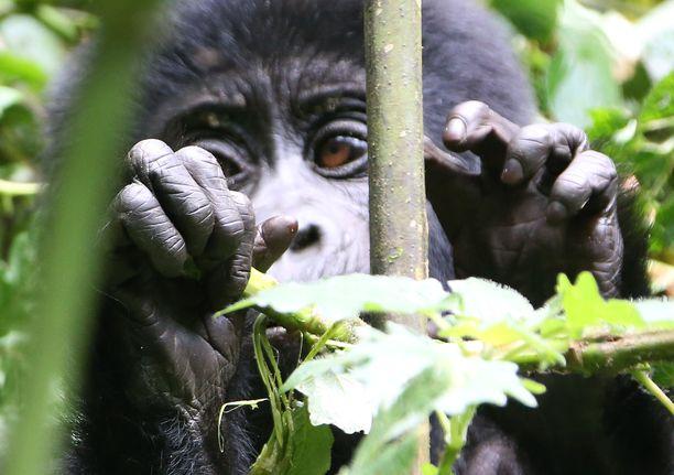 Vuorigorilla Bwindi Impenetrable -kansallispuistossa Ugandassa.