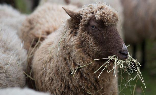 Poliisin mukaan lampaiden hoitoon, ravintoon ja terveyteen liittyvät laiminlyönnit ovat olleet laajamittaisia ja jatkuvia. Kuvituskuva.