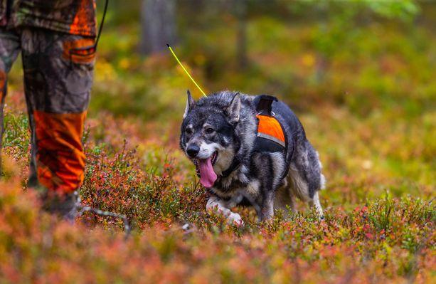 Koiravahinkoja pyritään estämään, jotta ihmisten yhteiselo uhanalaisen suden kanssa onnistuisi ja sutta siedettäisiin paremmin. Kuvituskuva.