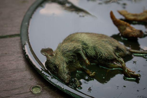 Rotat ja hiiret olivat mellastaneet salolaisessa päiväkodissa, erityisesti keittiössä. Kuvituskuva.