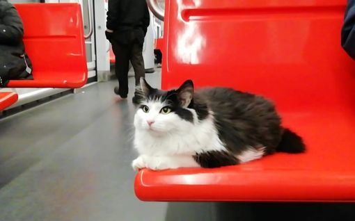 Rapsutuksia rakastava Elsie-kissa matkustaa vapaana Helsingin metrossa ja raitiovaunuissa – antoi pörröisen pusun myös konstaapelille