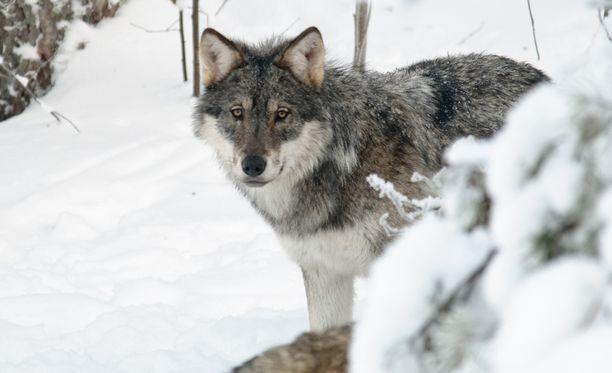 Susi kaadettiin tänään aamupäivällä Siltalammentien ja Kuohattijärven välisellä alueella, Lieksan ja Nurmeksen rajalla. Kuvan eläin ei liity tapaukseen.