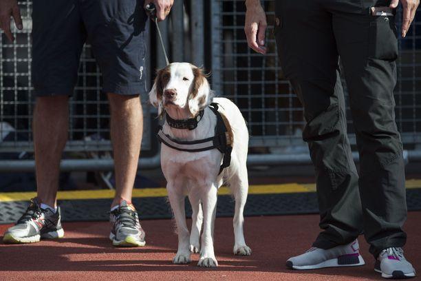 Springerspanieli Molly on maailman ensimmäinen dopingkoira.