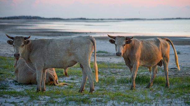 Lehmät olivat pelastautuneet ulkona merellä oleville hiekkasärkille.