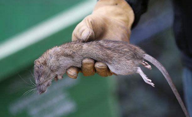 Puhtaanapitolaitoksen työntekijä esittelee kuollutta rottaa Pariisissa.