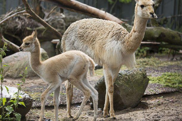 Sirosta ja hennosta olemuksestaan huolimatta vikunja on Etelä-Amerikan kestävimpiä eläimiä.