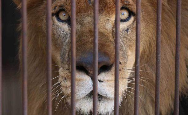 Kuvan leijona on yksi valituista, joka pääsee palaamaan Afrikkaan.