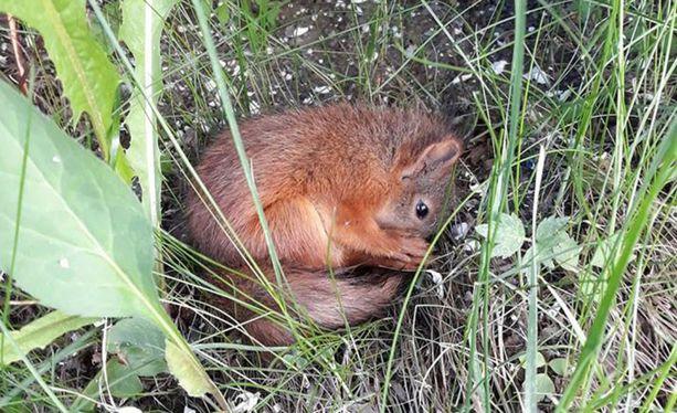 Ida Asp auttoi helteestä nääntynyttä oravaa Tampereella.