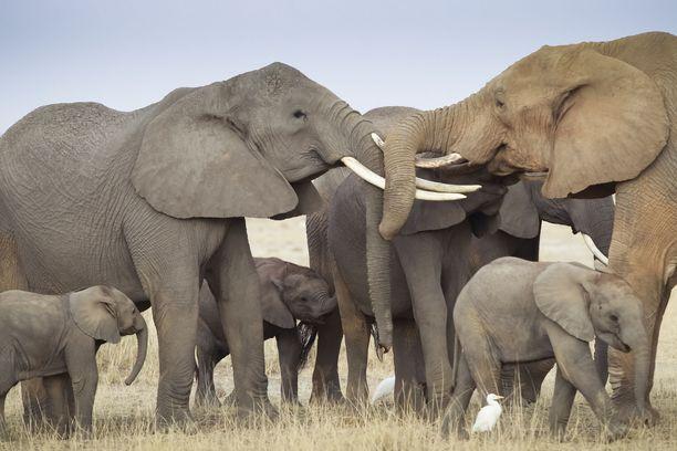 Afrikannorsujen kuljettaminen eläintarhoihin halutaan kieltää.