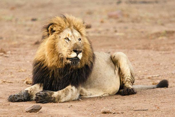 Salametsästäjän seurassa olleet henkilöt kertoivat leijonien syöneen ruumiin. Kuva on Krugerin kansallispuistosta, mutta kyseinen leijona ei liity tapaukseen.