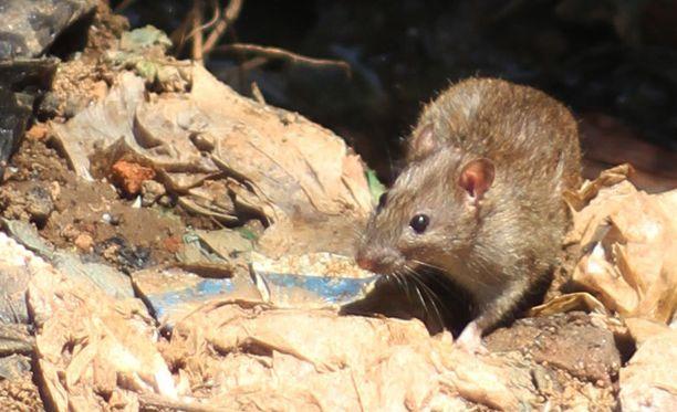 Epidemian yhdeksi syyksi nähdään rottien lisääntyminen asutuskeskuksissa.